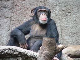 Chimpanzee - Leipzig zoo